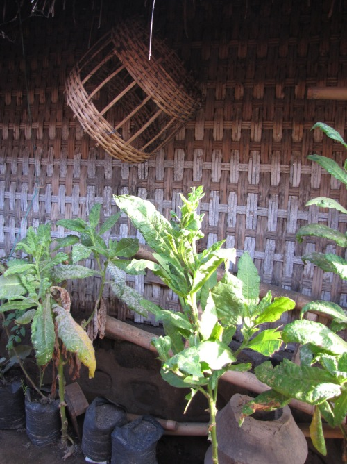 Tobacco is a major crop in this village