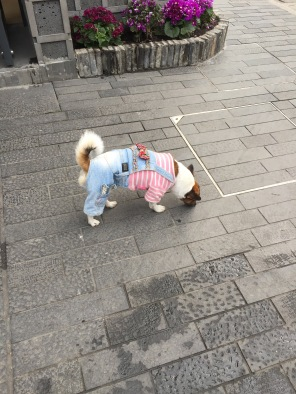 Yes, that dog is wearing human clothes